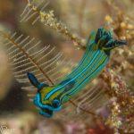 Elysia nudibranch loreto